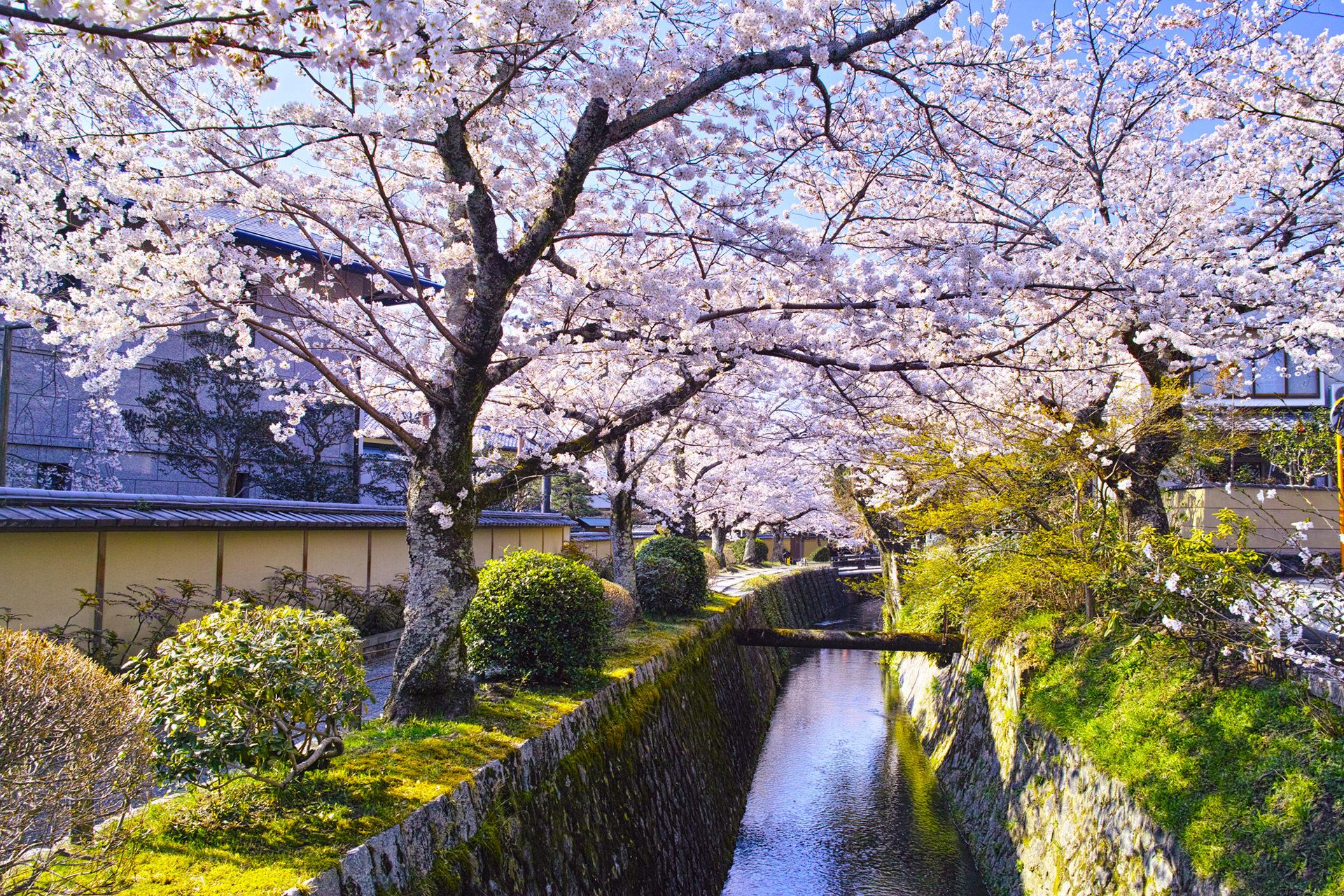京都-桜-哲学の道-風景