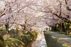 京都-桜-哲学の道