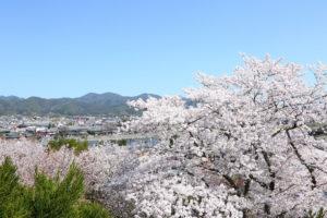 京都-桜-展望台