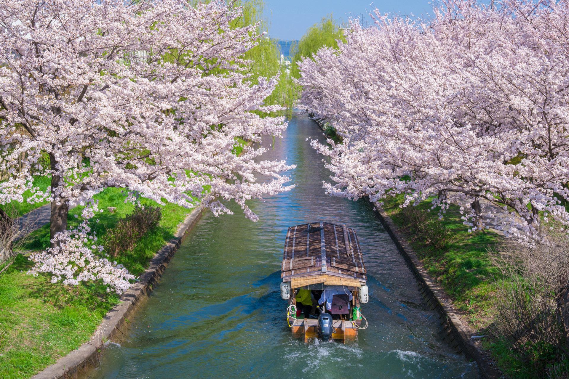京都-桜-春-舟