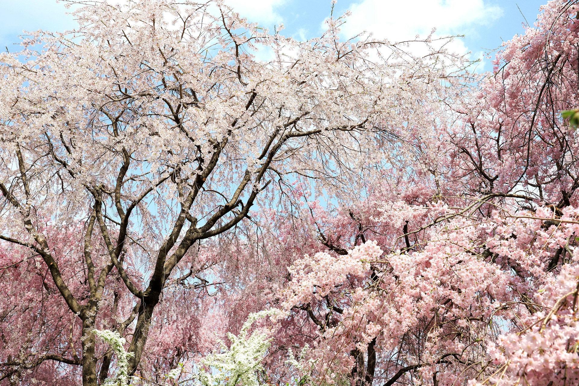 京都-三千院-桜