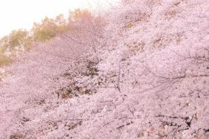 京都-桜-満開-時期