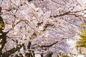 京都-桜-満開-見頃