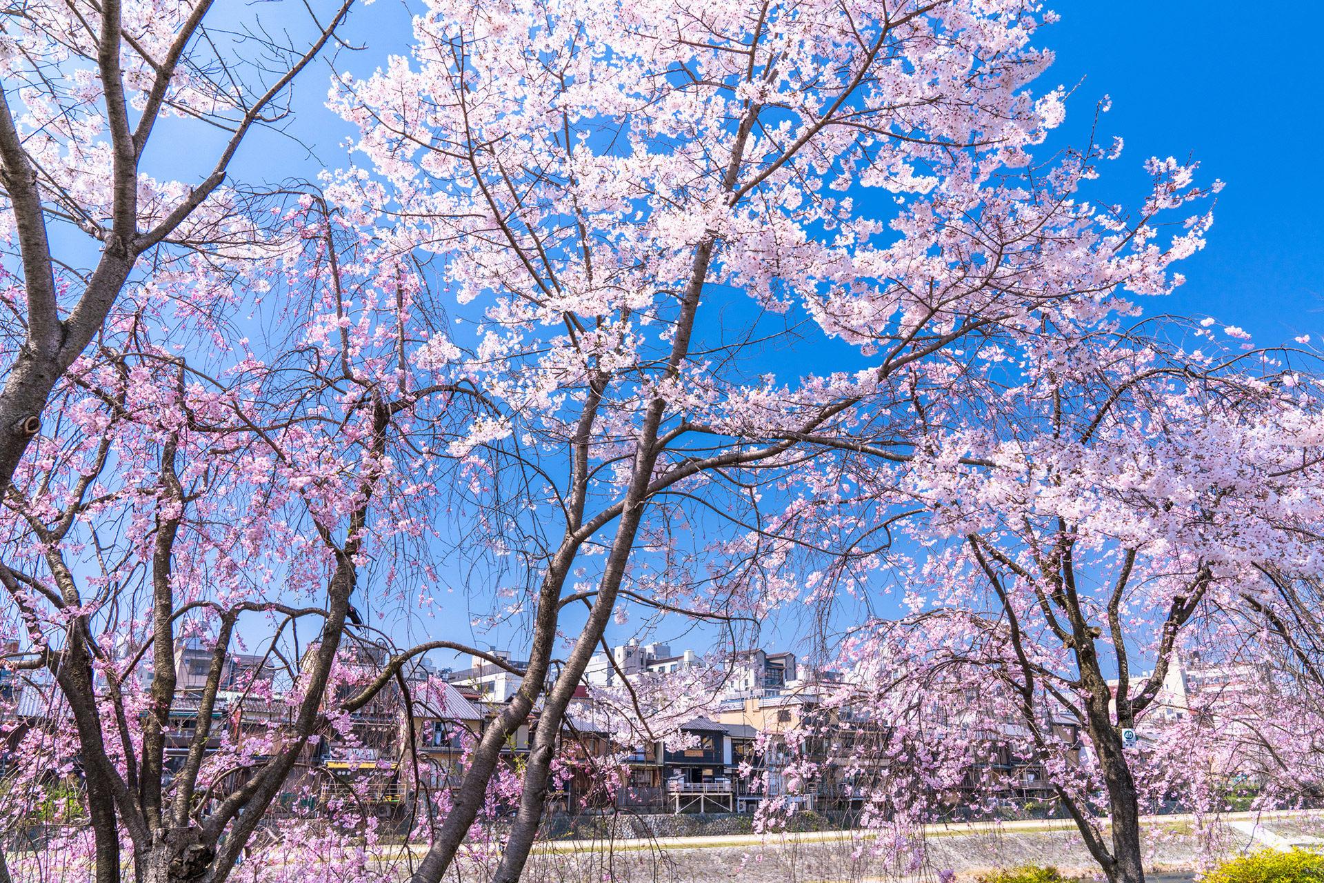 京都-桜-満開