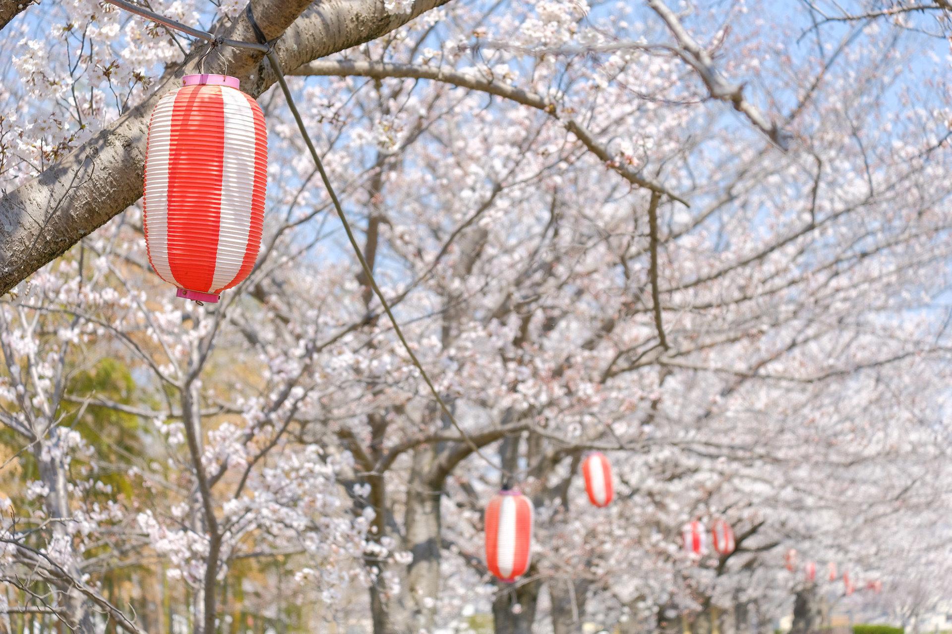京都-桜-祭り