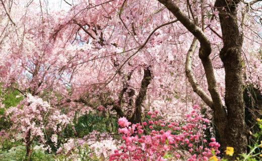 京都-桜-穴場
