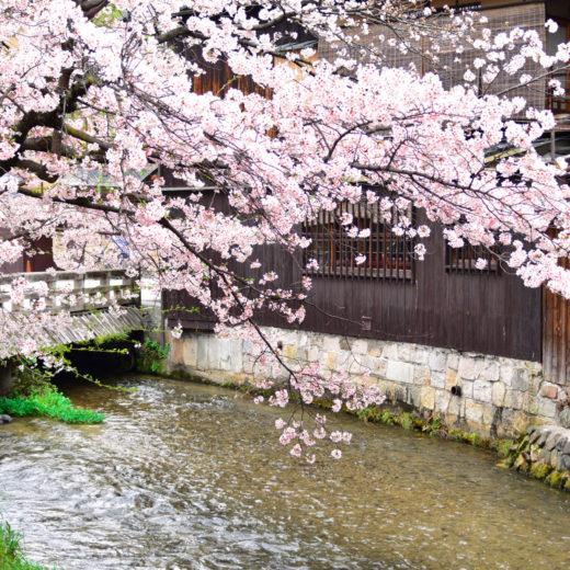 京都-桜-街