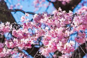 京都-桜-見頃-イメージ