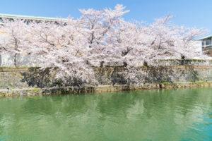 京都-桜-見頃-風景