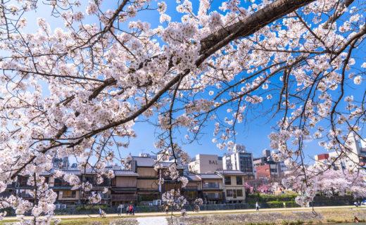 京都-桜-見頃