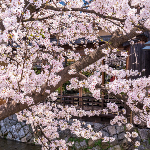 京都-桜-風情