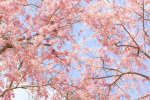 京都-桜-風景