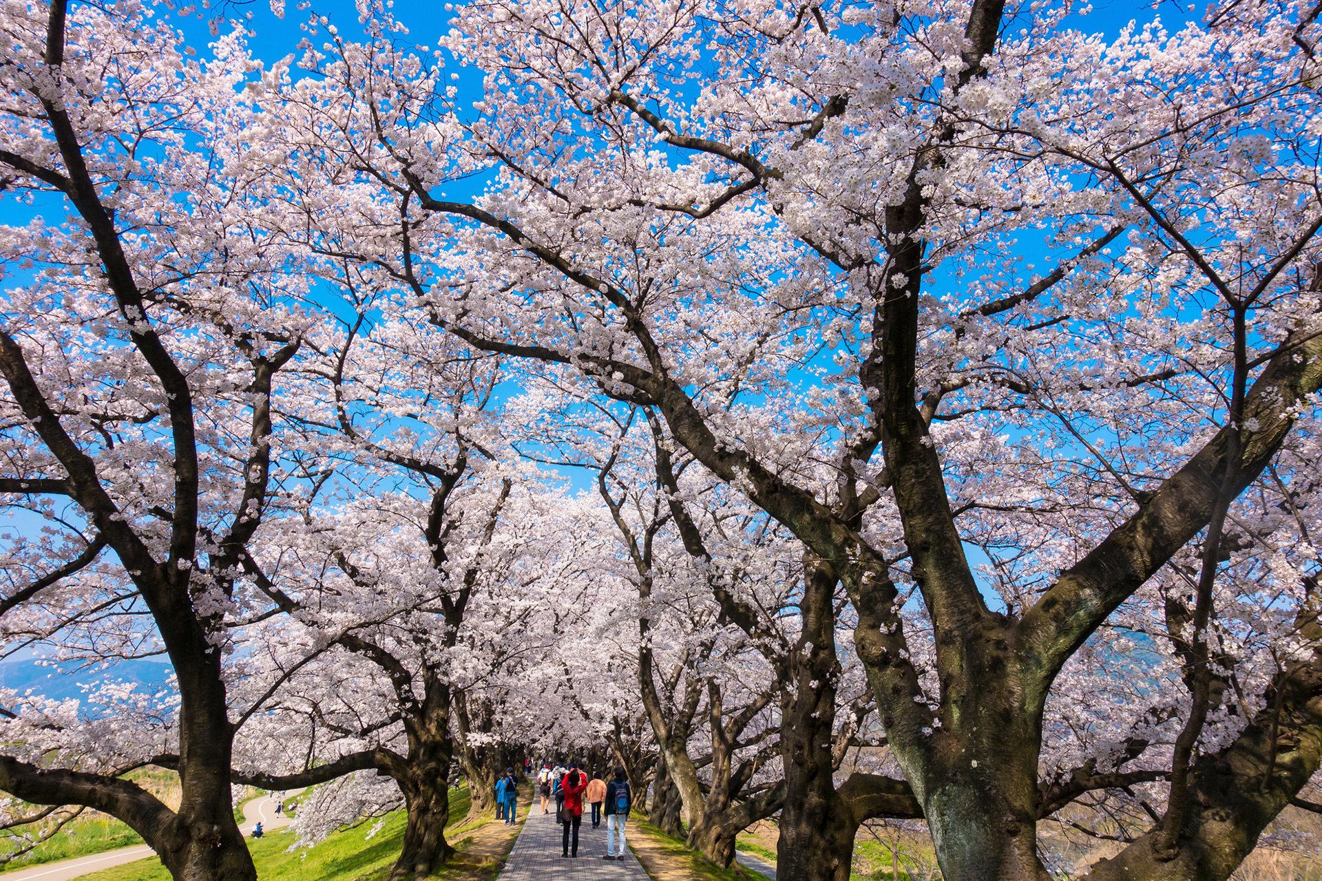 京都-淀川河川公園-桜