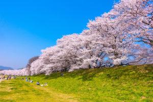 京都-淀川河川-桜