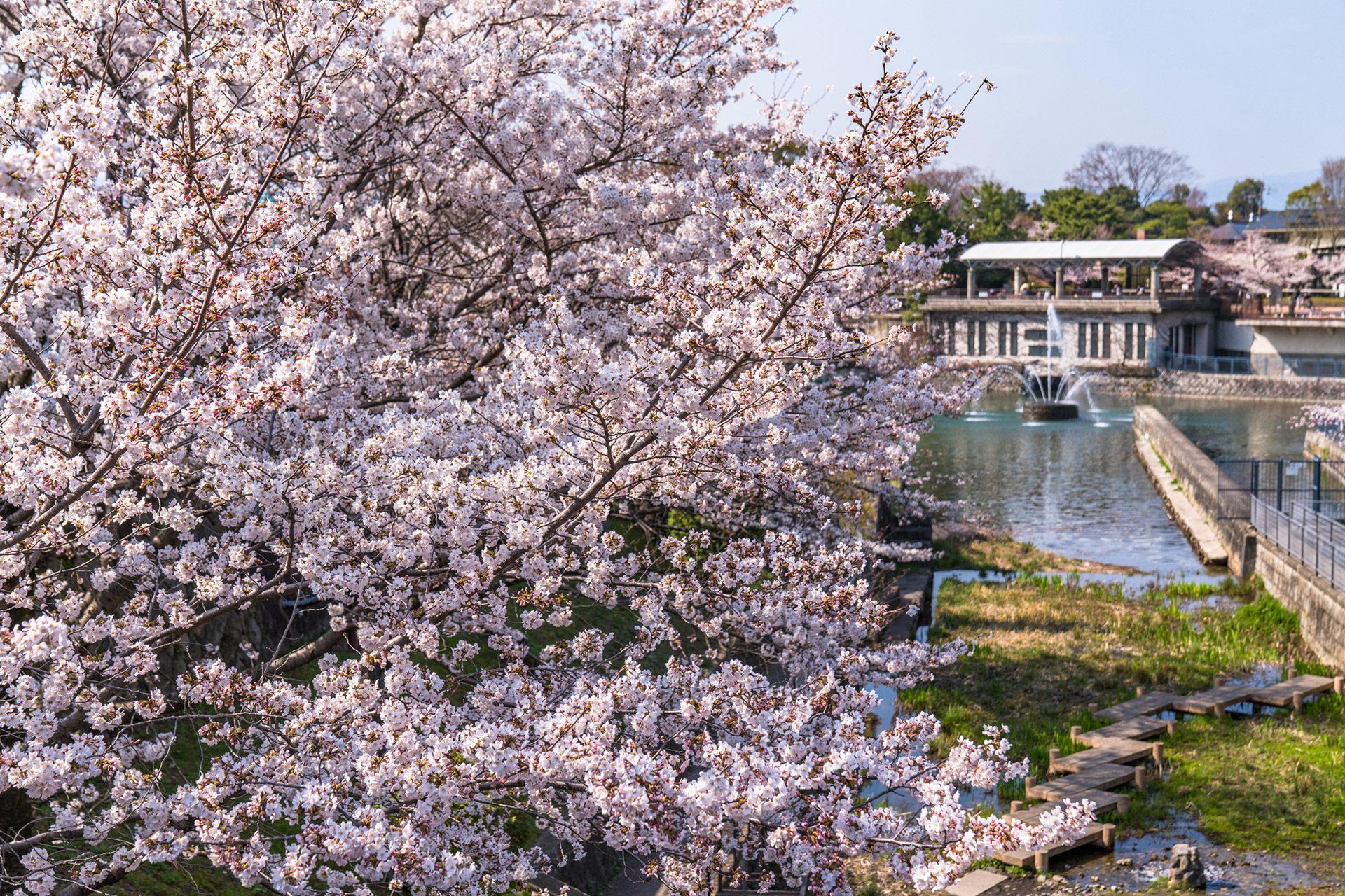 京都-疎水-桜