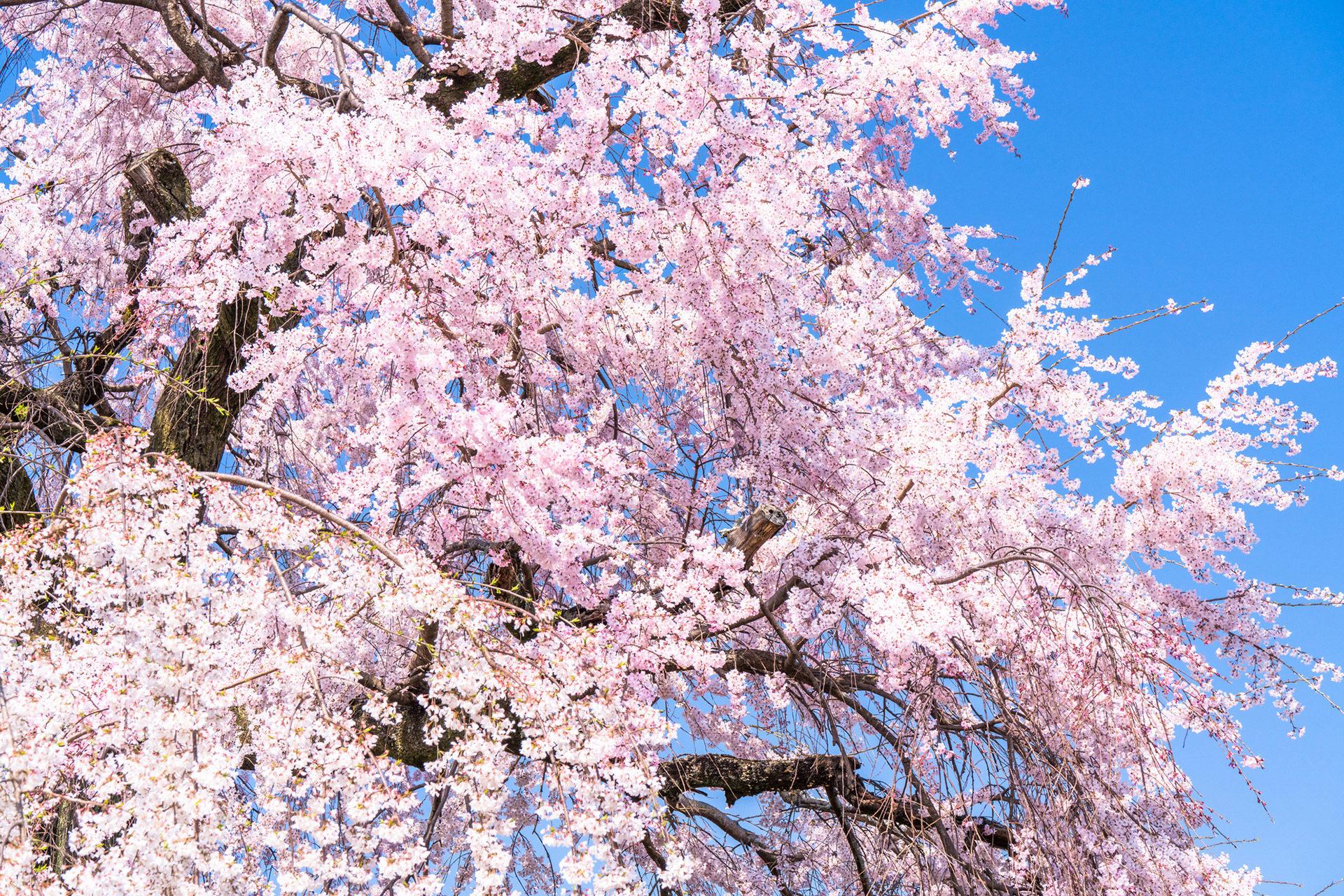 京都-祇園-枝垂れ桜