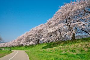 京都-背割堤-桜-アクセス