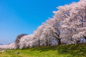 京都-背割堤-桜-満開