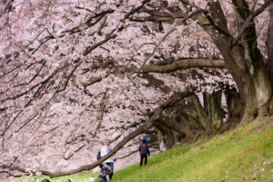 京都-背割堤-桜-風景