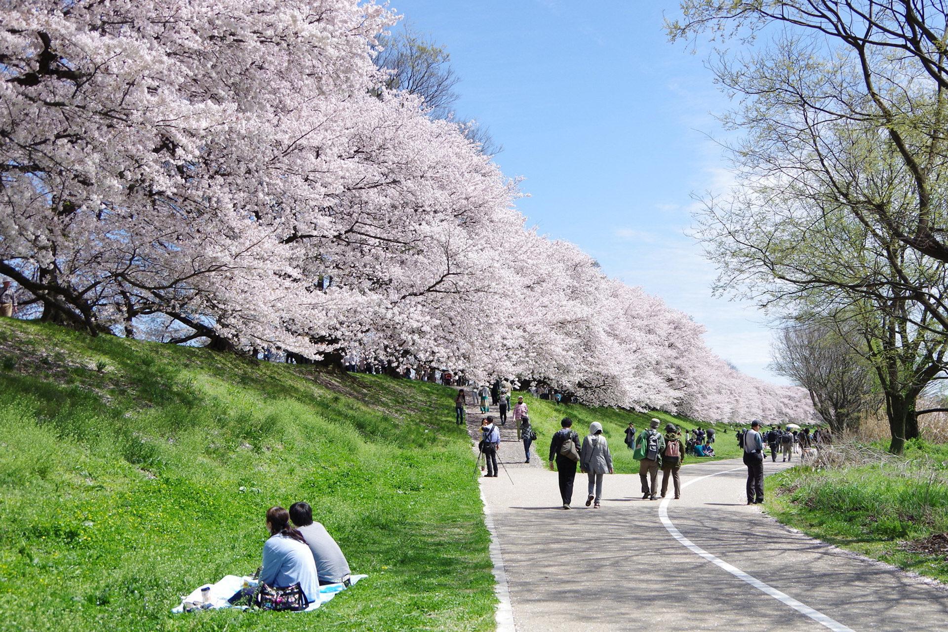 京都-背割堤-桜