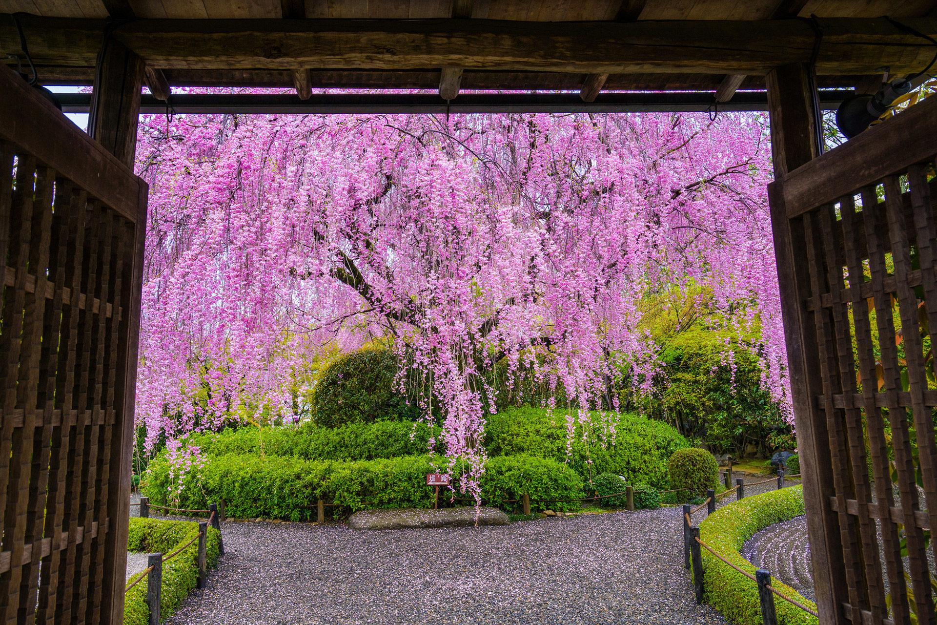 京都-退蔵院-しだれ桜