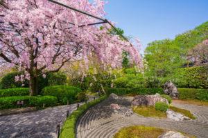 京都-退蔵院-桜