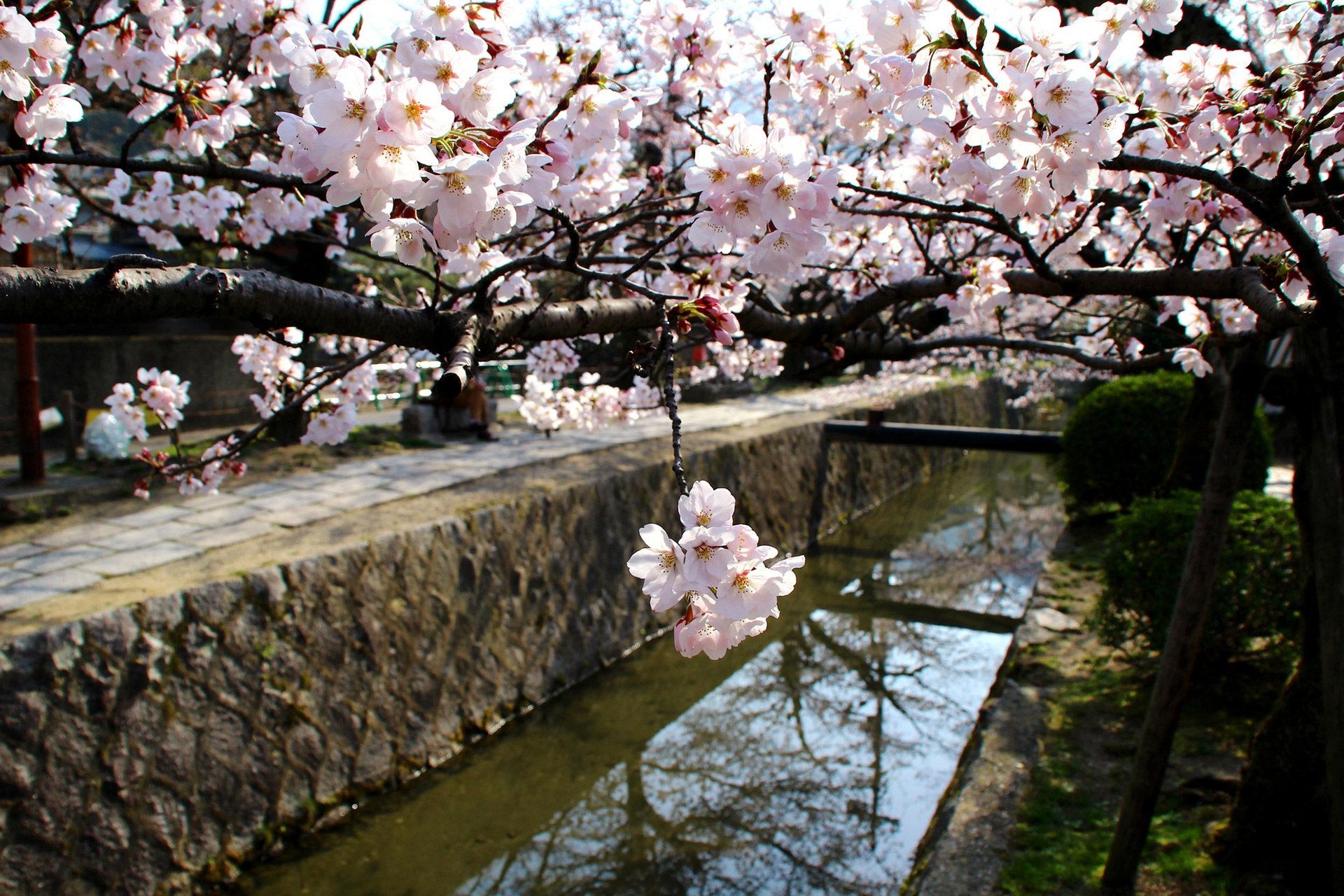 京都-銀閣寺-桜