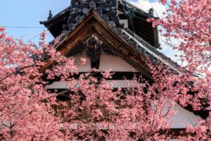 京都-長徳寺-桜