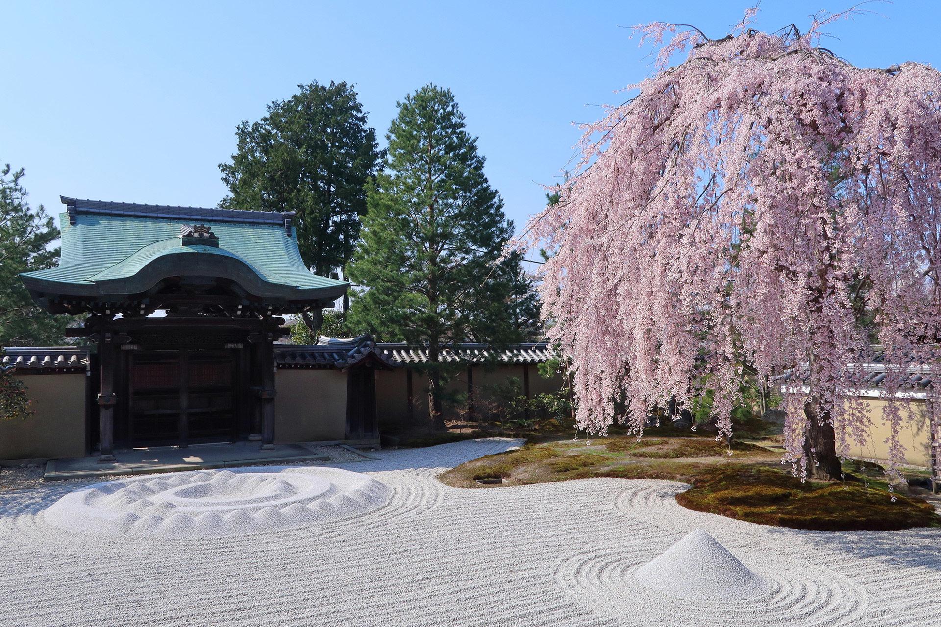京都-高台寺-しだれ桜