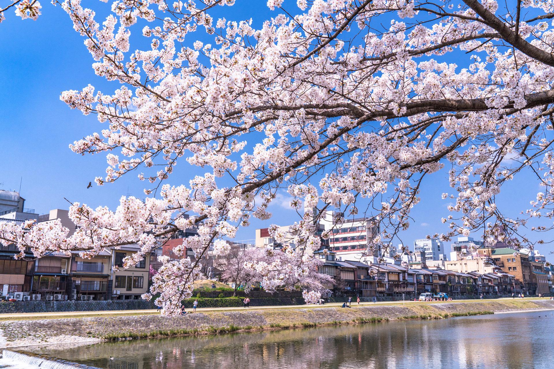 京都-鴨川-桜