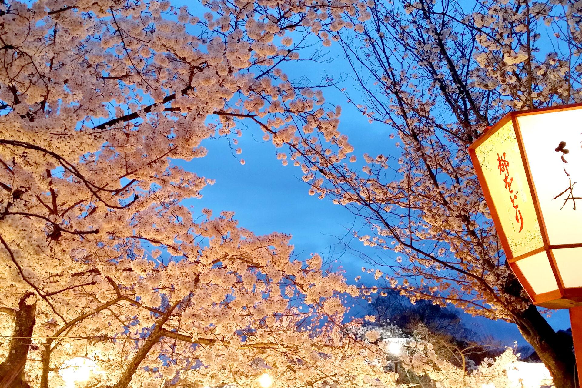 円山公園夜桜