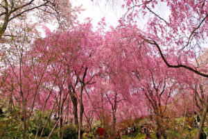 原谷苑-シダレ桜