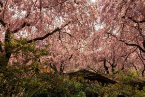 原谷苑-桜-圧巻
