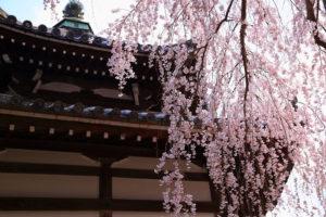 善峯寺-桜-イメージ