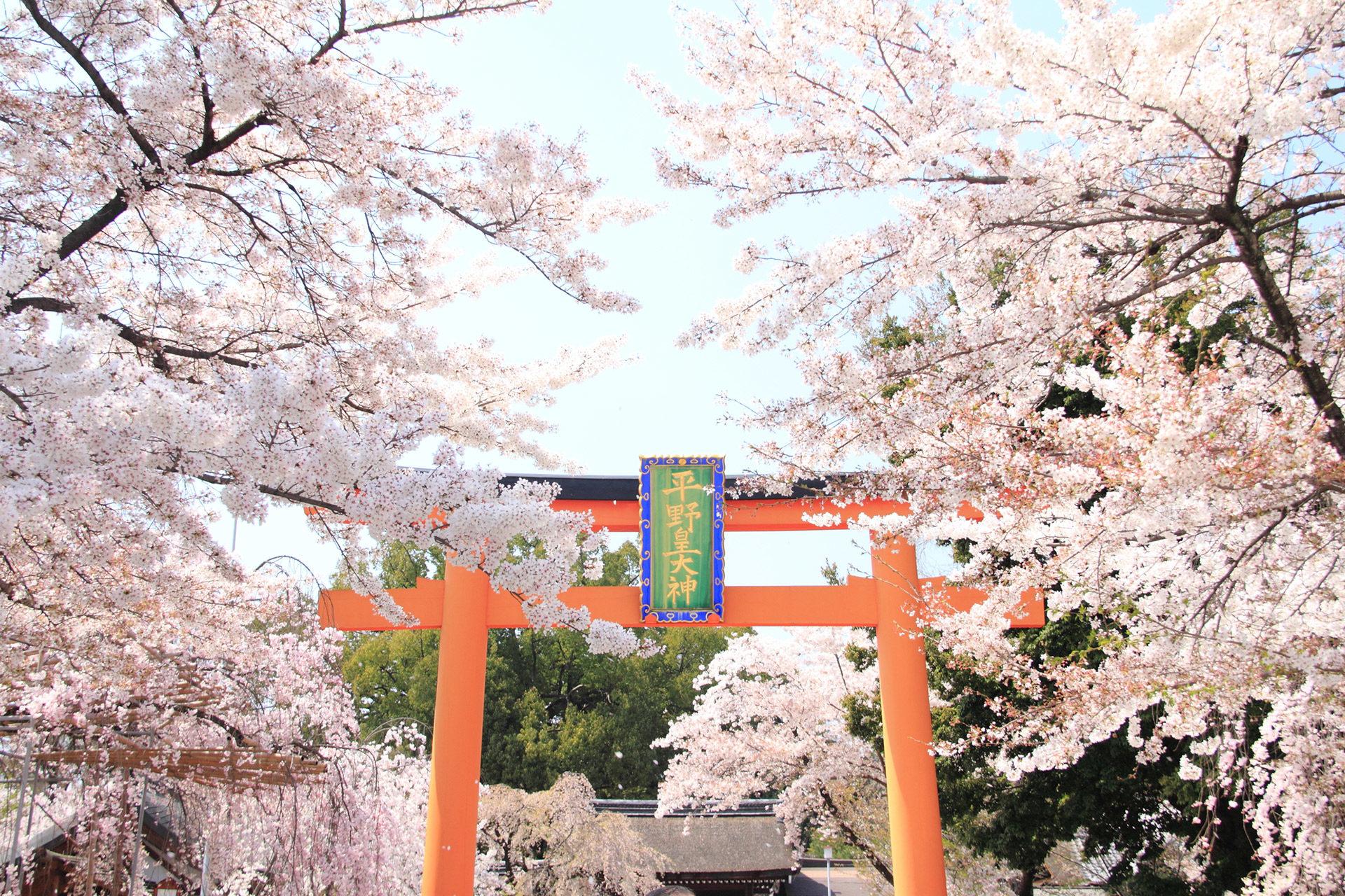 平野神社-桜