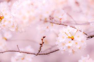 桜-イメージ