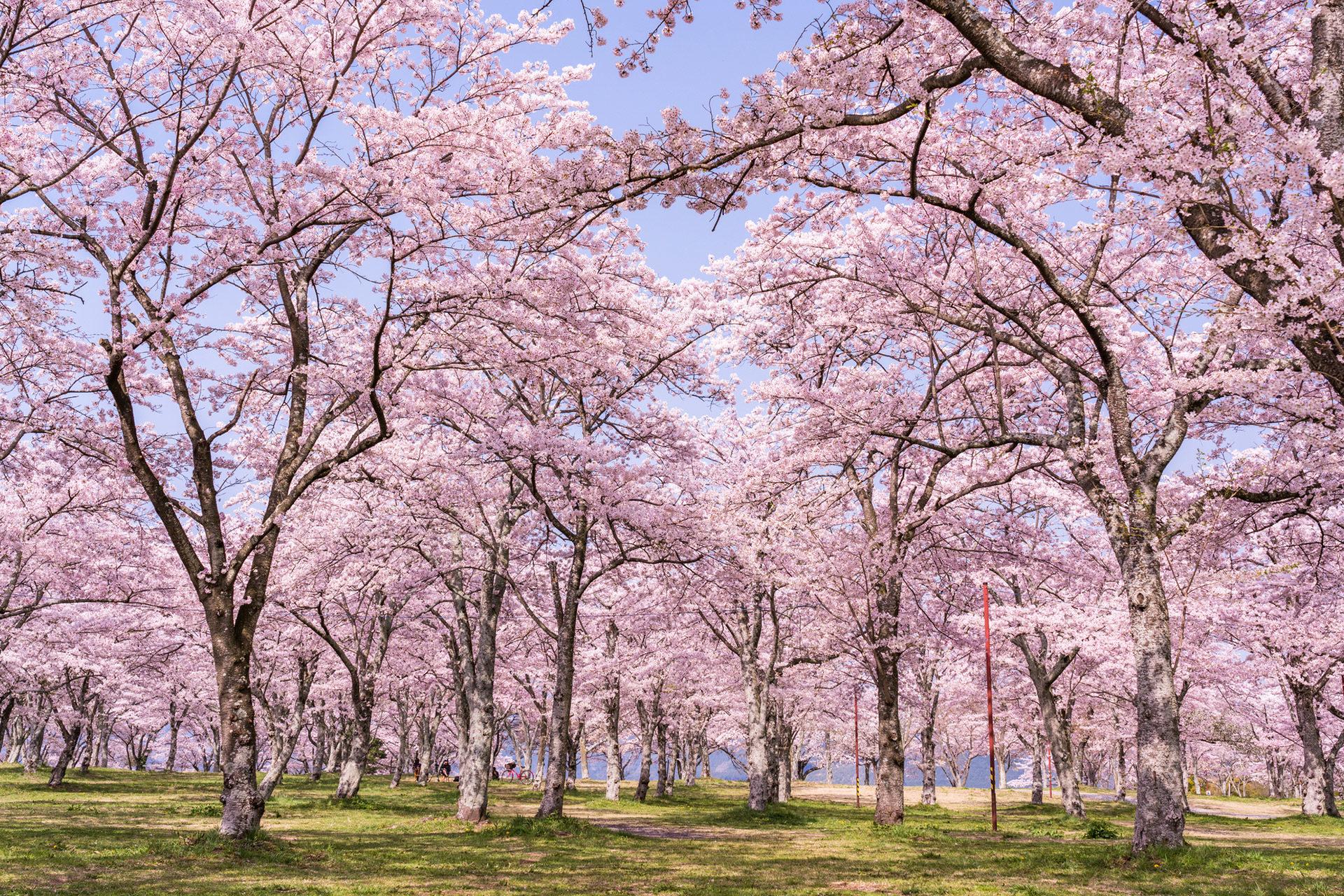桜-満開-イメージ-風景