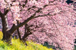 桜-満開-イメージ