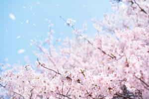 桜-満開-散る