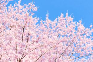 桜-満開-綺麗