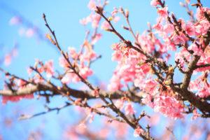 桜-満開-風景