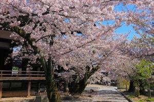 桜-穴場-イメージ