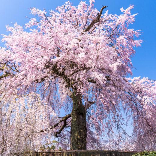 桜-花見-シダレザクラ
