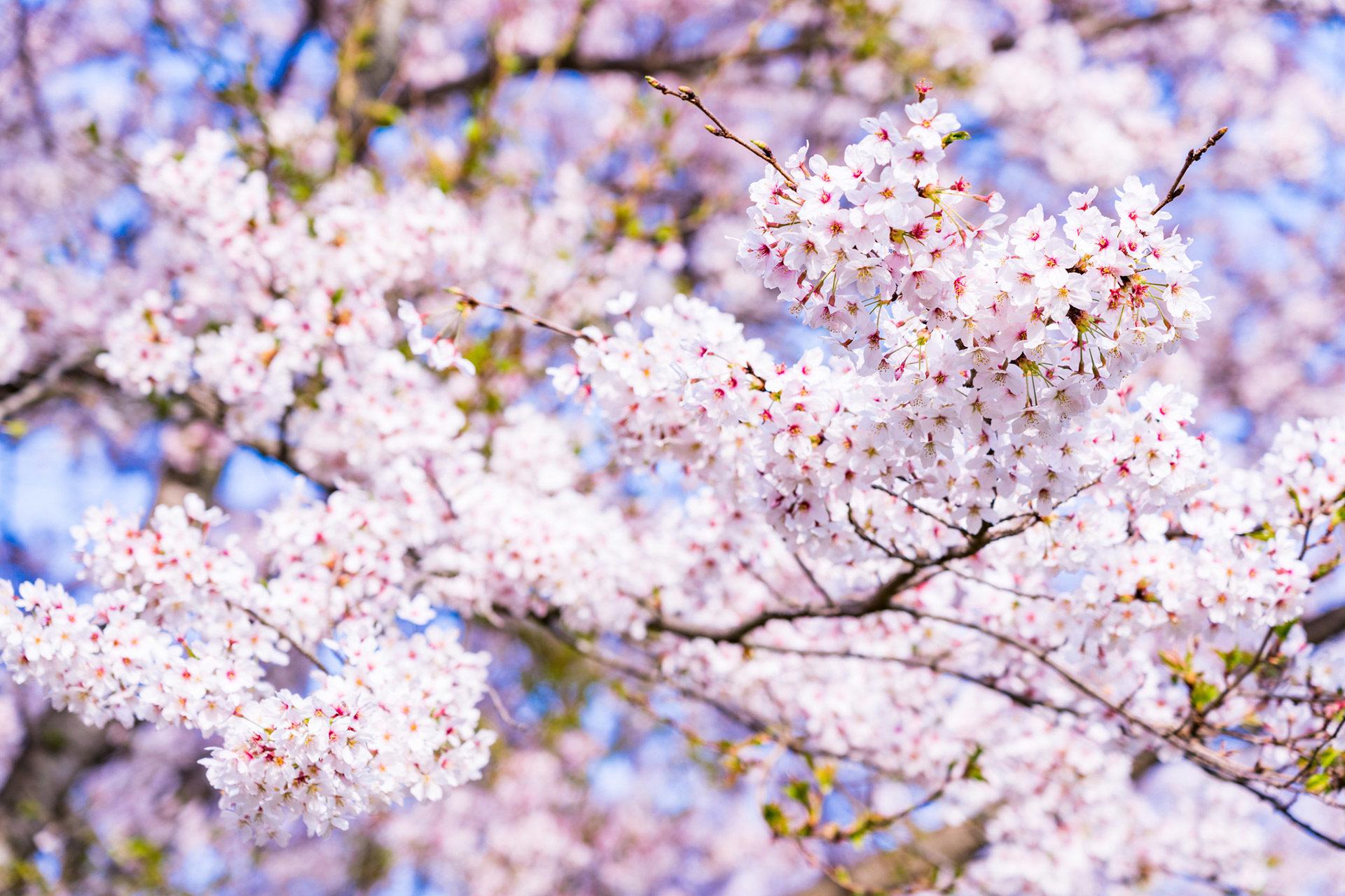 桜-見頃-いつ