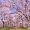 桜-見頃-満開