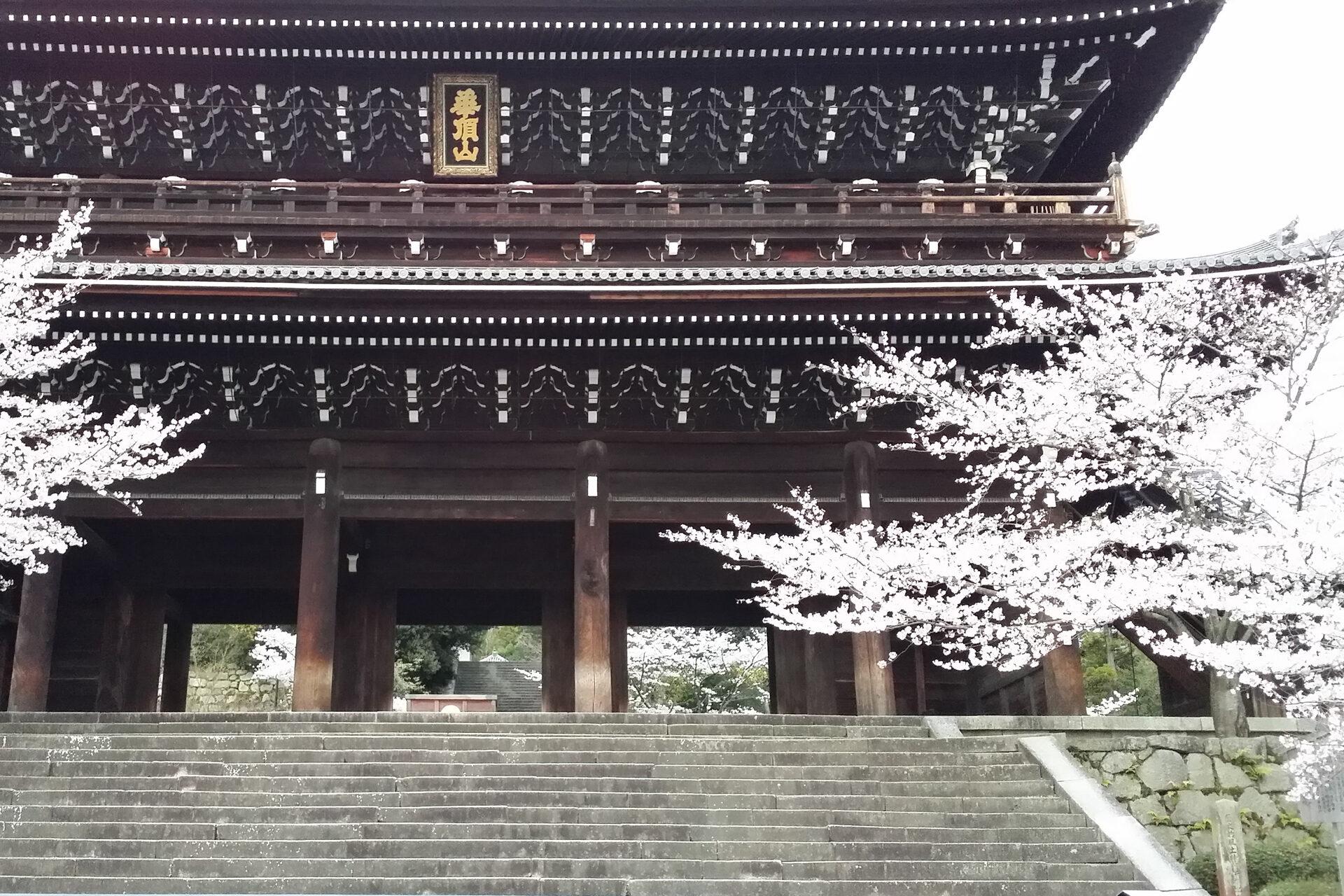 知恩院山門 桜