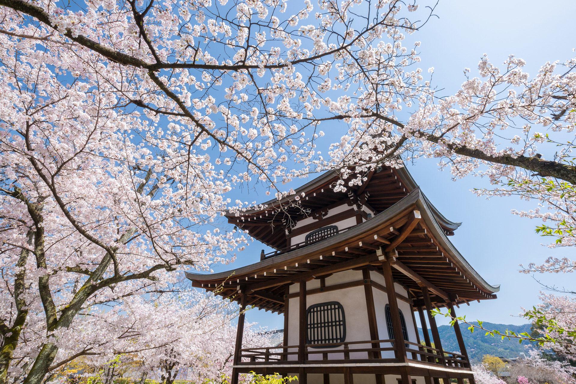 観修寺-桜