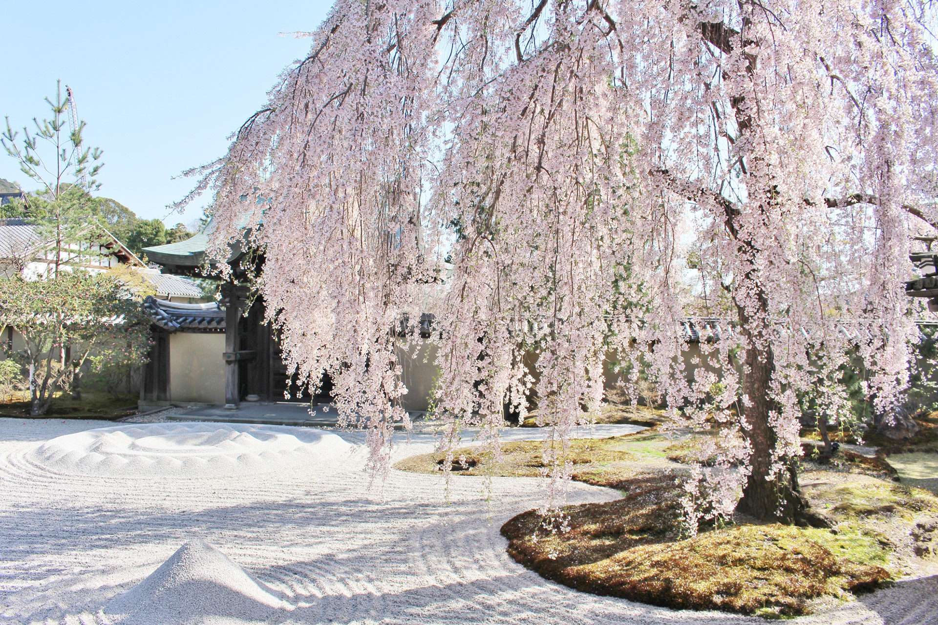 高台寺-桜