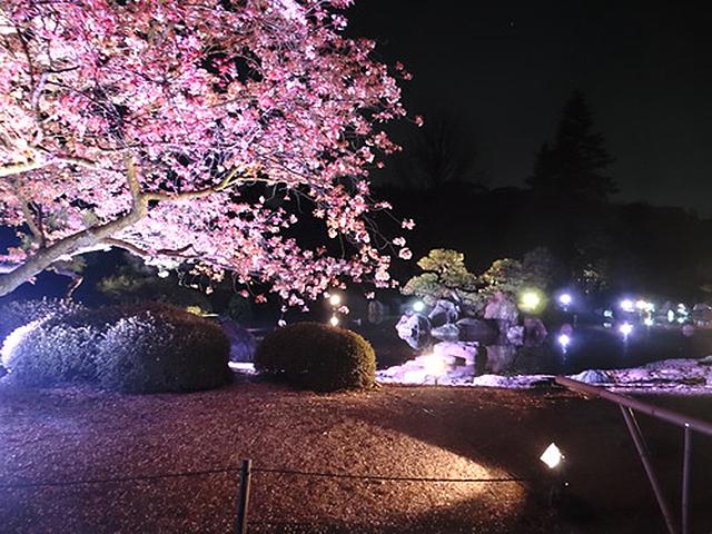 二条城 桜ライトアップ