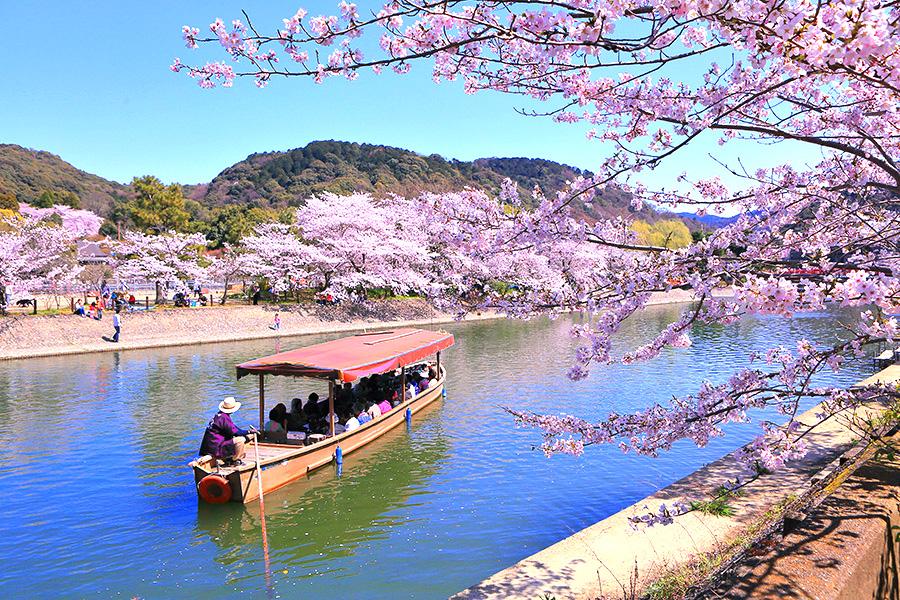 宇治公園 桜